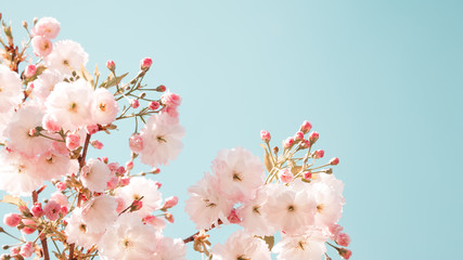Branches of blossoming spring tree. Sakura flowers