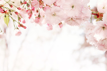 Branches of blossoming spring tree. Sakura flowers Wall mural
