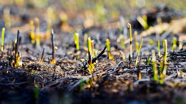 grass grows after a fire