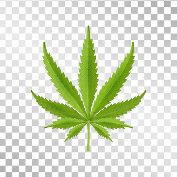 Hemp leaf isolated on transparent background. Realistic marijuana. Cannabis plant. Vector Illustration