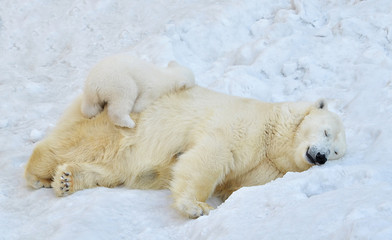 Deurstickers Ijsbeer polar bear in snow