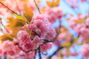 Spring awakening. Beautiful cherry blossom of sakura tree.  Nature background.
