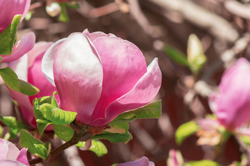 purple magnolia blossom. beautiful nature background in sunny springtime weather. bud close up