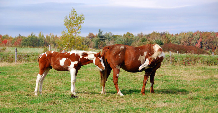 The American Paint Horse is a breed of horse that combines both the conformational characteristics of a western stock horse with a pinto spotting pattern of white and dark coat colors.