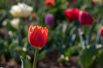 Tulipani italiani ad Arese