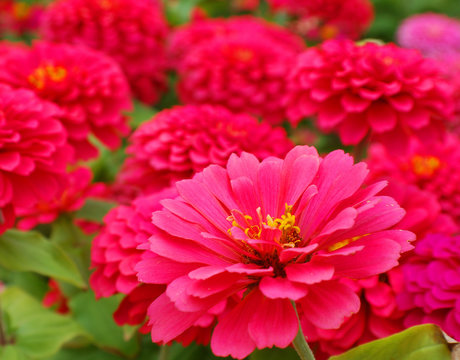Zinnia is a genus of plants of the sunflower tribe within the daisy family. They are native to scrub and dry grassland in an area stretching from the US to South America and Mexico