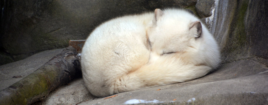 Arctic fox (Vulpes lagopus), also known as the white, polar or snow fox, is a small fox native to the Arctic regions of the Northern Hemisphere and common throughout the Arctic tundra biome