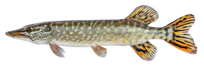 Raw fish pike isolated. Freshwater alive river fish with scales. Side view