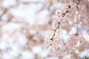 Wall Mural - Rosa Kirschblüte im Frühling