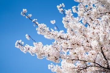 Wall Mural - Japanische Kirschblüte im Frühling vor blauem Himmel