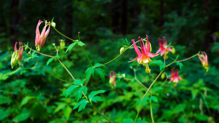 Wild columbine growing at the edge of a summer forest