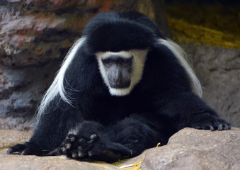 The mantled guereza (Colobus guereza), or guereza, the eastern black-and-white colobus, or the Abyssinian black-and-white colobus, is a black-and-white colobus, a type of Old World