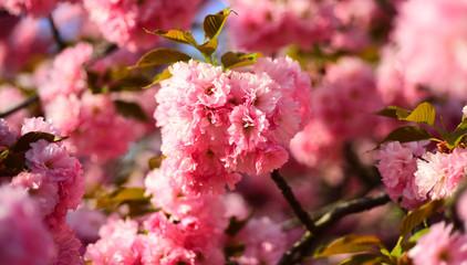 Cherry blossom. Copenhagen Sakura Festival. Sacura cherry-tree. Blossom tree over nature background. Spring flowers.