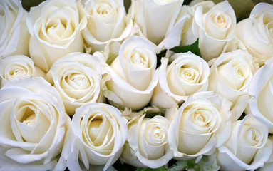 Fototapete - white rose flower in bouquet as nature background