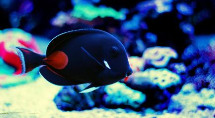 Achilles Surgeon Fish Tang -(Acanthurus achilles)