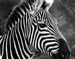 Aluminium Prints Closeup of a Zebra at the zoo in black and white