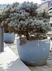 Fototapete - seedlings of coniferous trees in pots on the streets of Tbilisi