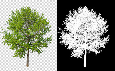 single tree on transparent picture background with clipping path, single tree with clipping path and alpha channel on black background