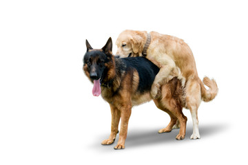 Retriever dog mates with German Shepherd dog