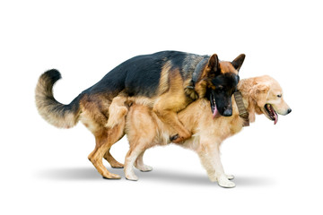 Shepherd dog making love with Retriever dog