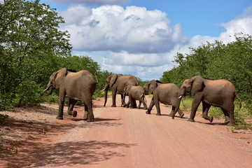 elephants crossing gravel road,Kruger national park in South Africa