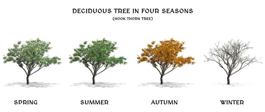 Deciduous Tree in four seasons - Hook Thorn - isolated on a white background
