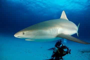 Caribbean Reef Shark (Carcharhinus perezi) Close-up. Tiger Beach, Bahamas