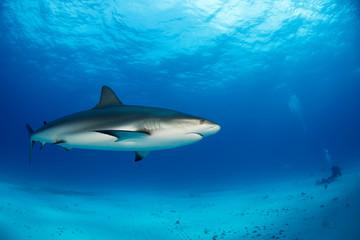 Caribbean Reef Shark (Carcharhinus perezi) in mid Water, over Sand Bottom. Tiger Beach, Bahamas