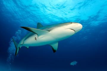 Caribbean Reef Shark (Carcharhinus perezi) from Below, against Surface. Tiger Beach, Bahamas