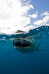 Lemon Shark (Negaprion brevirostris) Split Shot, Open Mouth Showing Teeth at Surface. Tiger Beach, Bahamas