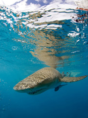 Lemon Shark (Negaprion brevirostris) Approaching the Camera, Right beneath the Surface. Tiger Beach, Bahamas