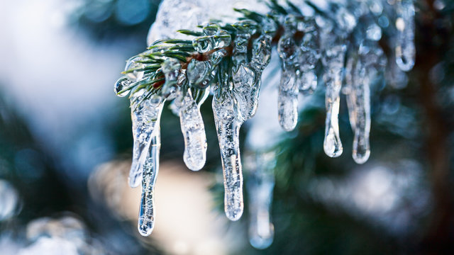 Icicles on fir tree branch