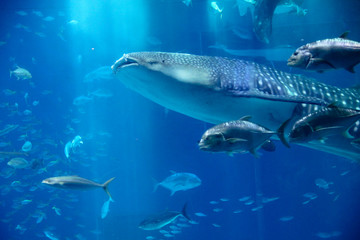 Fish swimming with whale shark, Blue ocean underwater creatures background concept image.