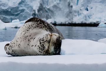 Seeleopard/Leopard seal