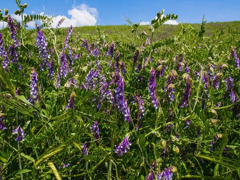 Alfalfa - Purple white field clover