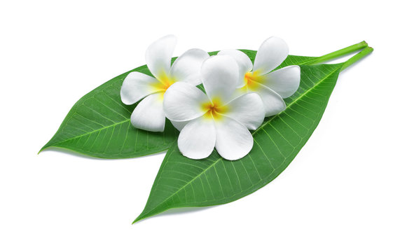 frangipani or plumeria , tropical flowers with green leaves isolated on white background
