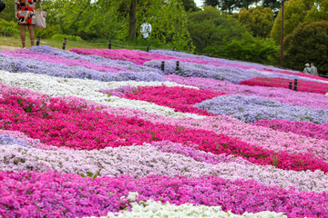 Foto op Plexiglas Roze Carpet of colorful flowers beautifying the park in spring