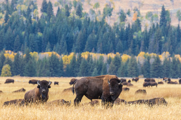 Printed roller blinds Bison Bison in Fall in Wyoming