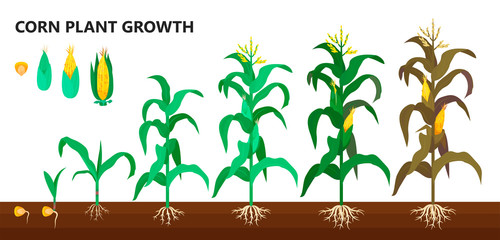 Corn plant growth, farm and agriculture steps