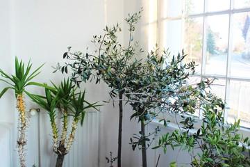 Mediterrane Pflanzen im Winterlager im Eingangsbereich