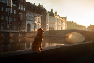 dog on the waterfront at sunrise. Pet on nature. Nova Scotia Duck Tolling Retriever, Toller. Dog travel