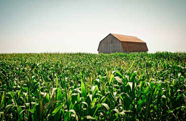 Old wooden barn in the cornfield