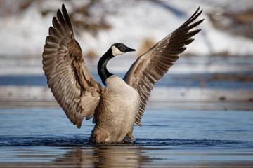 Goose praying for nice weather, wing flap