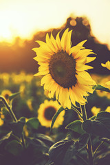 Fototapete - sunflower in the fields with sunlight in sunset