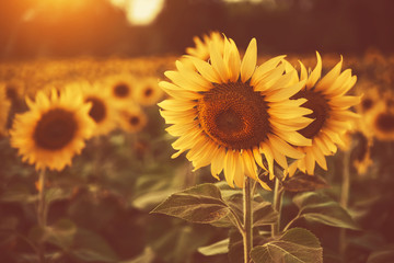 sunflower in the fields with sunlight in sunset