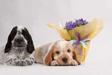 English Cocker Spaniels with flowers on a white background