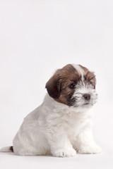 little pretty jack russell terrier