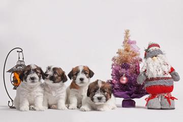 little pretty jack russell terriers