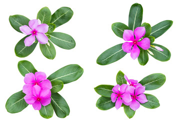 Pink Catharanthus roseus (Periwinkle,Madagascar rosy periwinkle) as background picture.flower on clipping path.