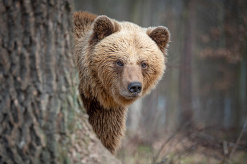 Wall Mural - Big brown bear in forest